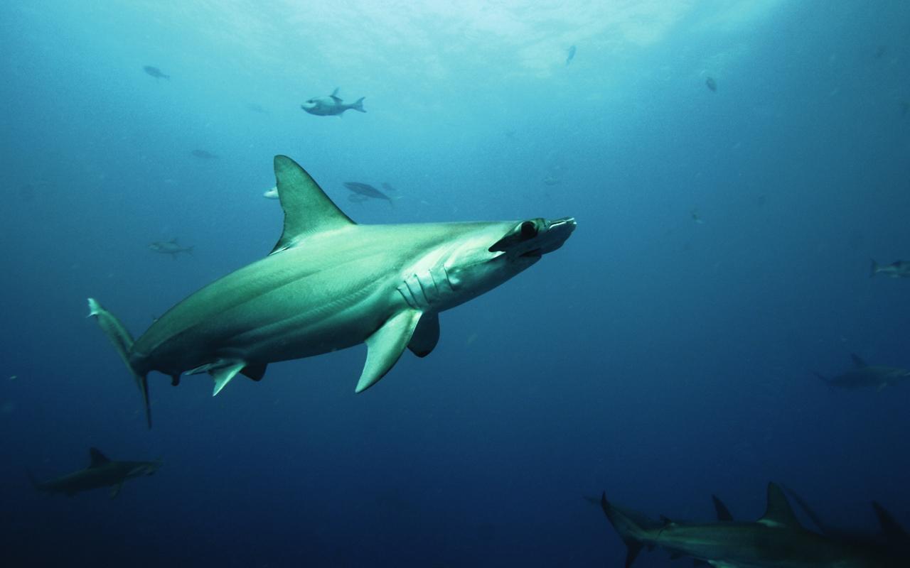 Oris, por la preservación de los tiburones en peligro de extinción